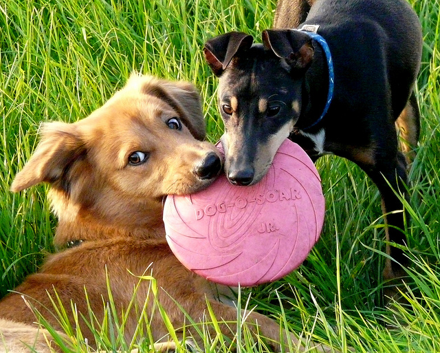 dog fetch toys resources