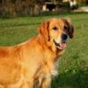 child-friendly dog breeds