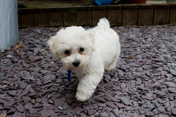bichon frise best dog breeds for apartment living