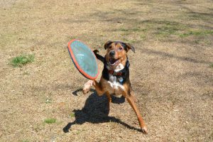 Dog Catching a Short Frisbee Throw