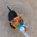 Tug of War with Your Dog - doggiefetch.com