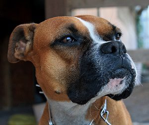 Boxer dog is a protective dog breed.
