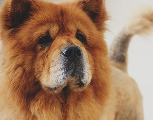 The Chow Chow dog is a Protective Dog Breed.