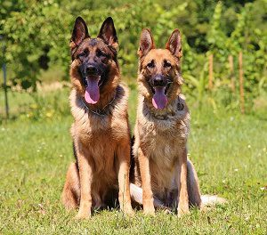 German Shepard dog is a protective dog breed.