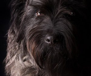 Giant Schnauzer dog is a protective dog breed.