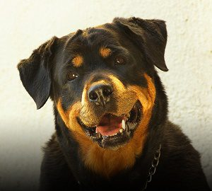 The Rottweiler dog is a protective dog breed.