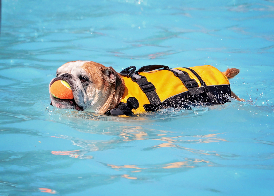 tips tricks to teach your puppy to swim the best puppy life jacket