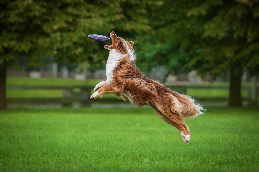 Australian Shepherd Catching Frisbee