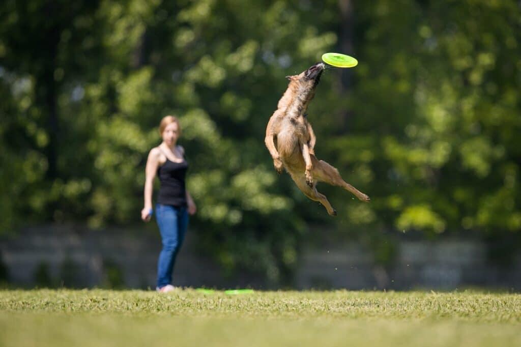 Belgian Malinois Catching Frisbee