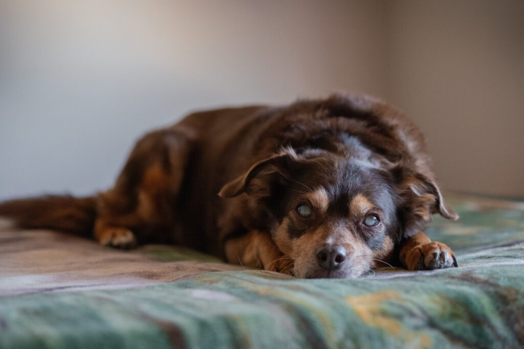 Portrait of a blind diabetic dog relaxed on the bed