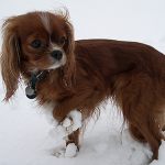 11 low energy dog breeds