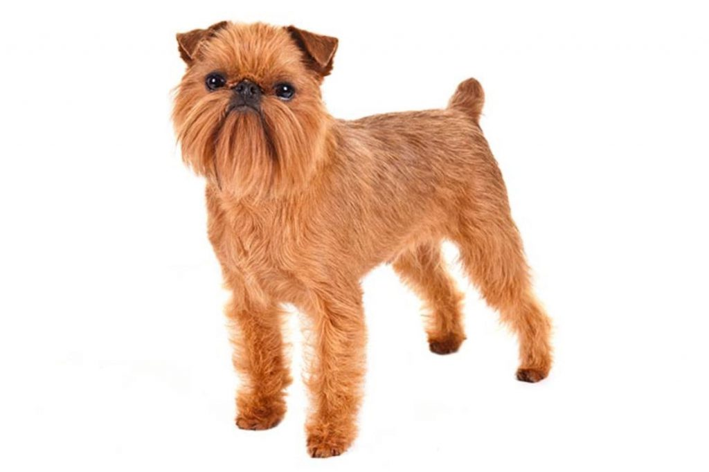 Brussel Griffon Dog Breed