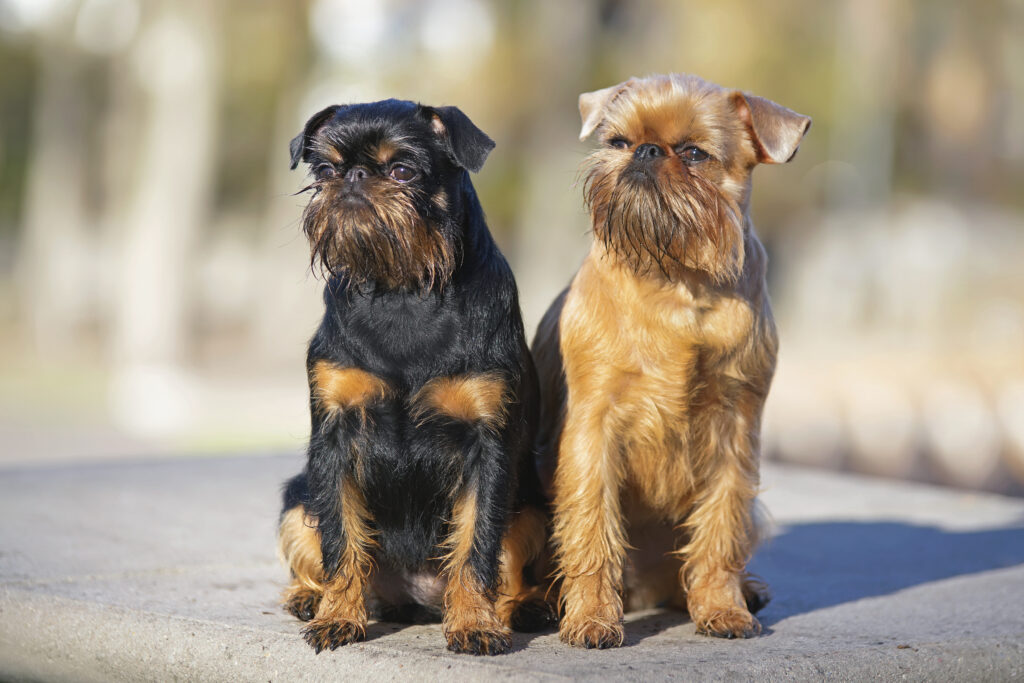 Brussels Griffon dogs (Griffon Belge and Griffon Bruxellois) sitting together outdoors on a concrete floor in autumn