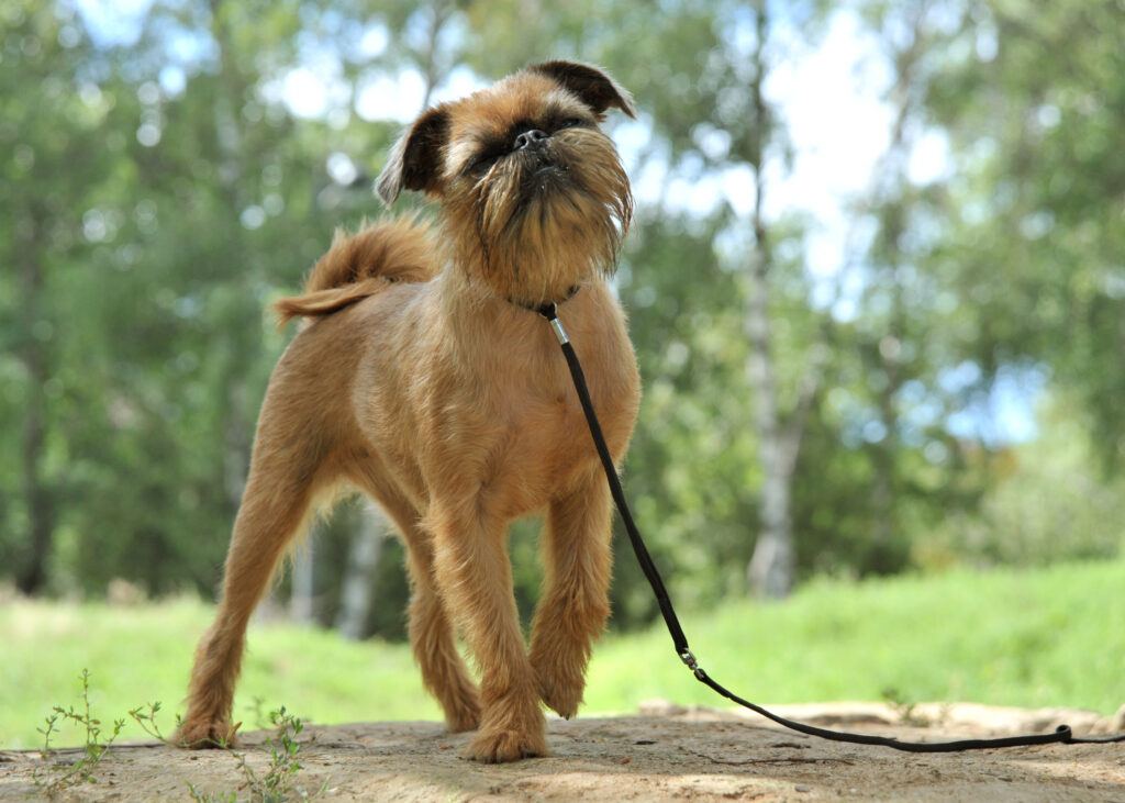 Brussels Griffon for a walk in the park