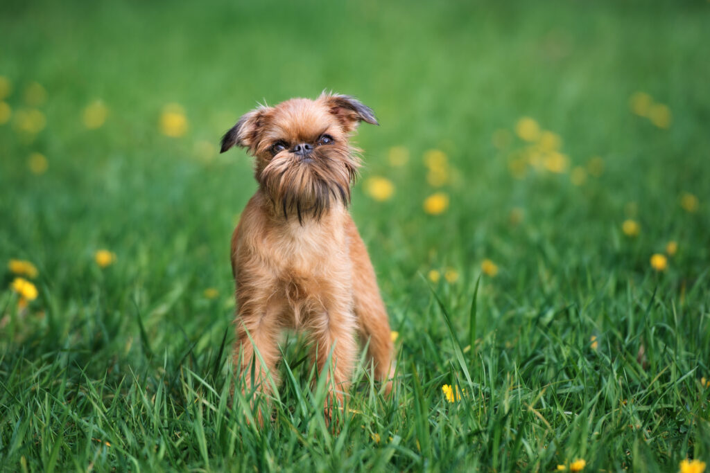 brussels griffon dog  posing outdoors in summer