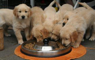 golden retriever puppies eating