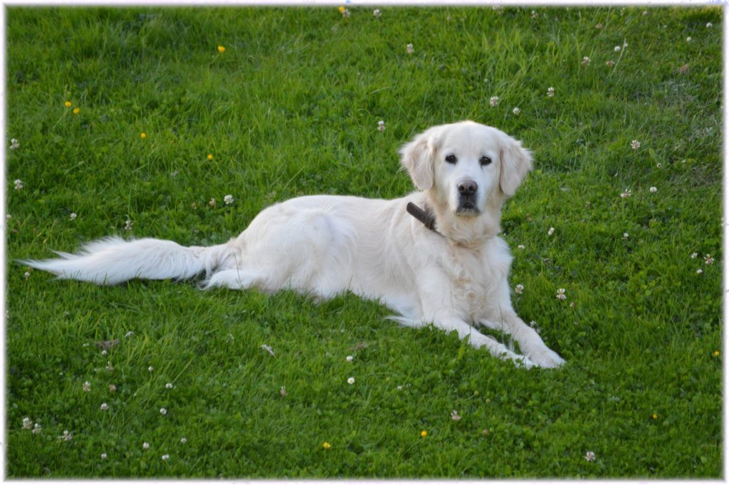 Home Remedies for Fleas on Dogs White dog in grass