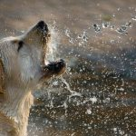 Dog catching water in its mouth-Bissel Barkbath review