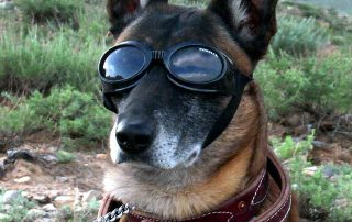 german shepherd with glasses