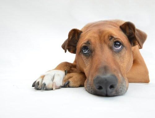 Cushing's Disease in Dogs: History, Symptoms, and Treatments