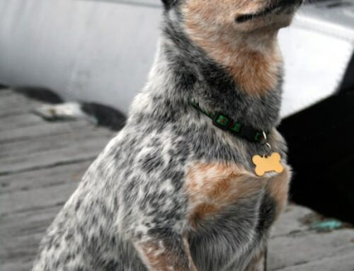 5 Great Facts About The Queensland Heeler