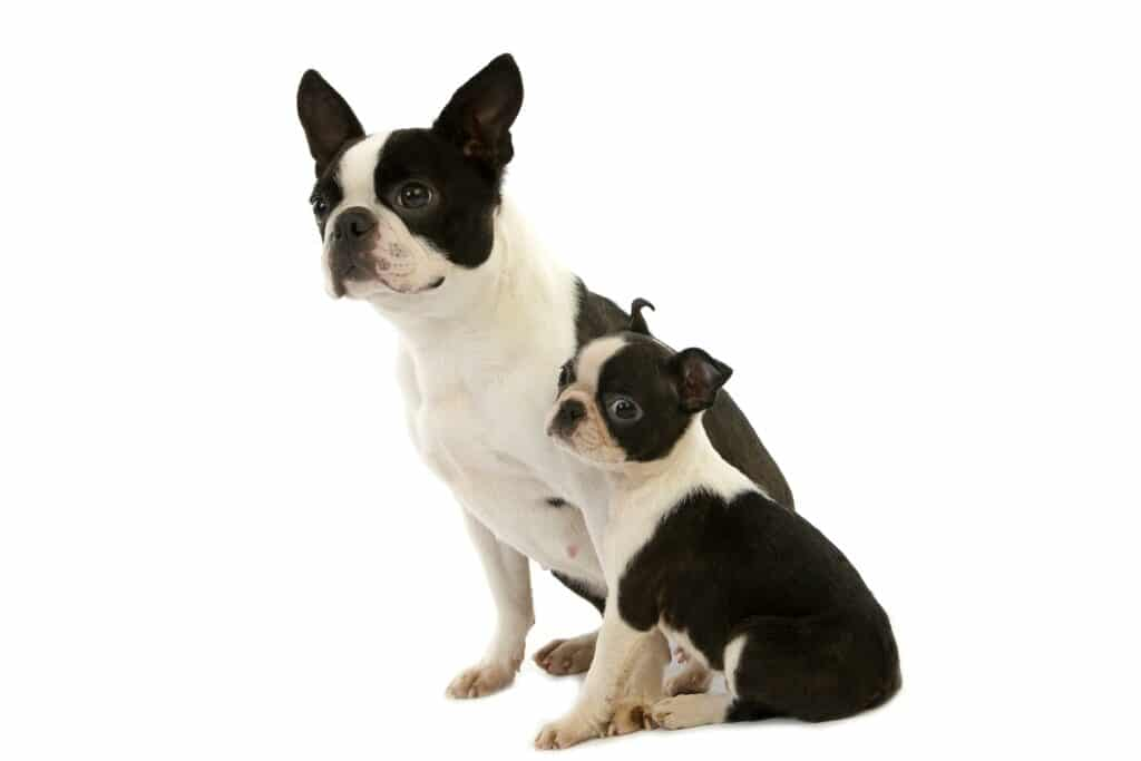 Boston Terrier Dog, Mother with Pup sitting against white Background