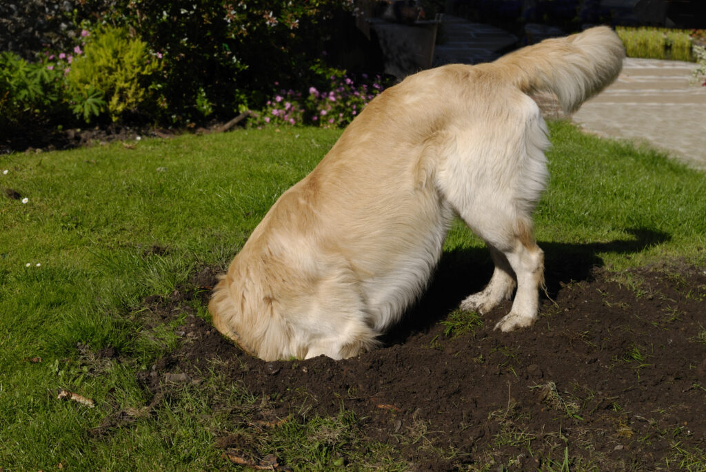 Golden Retriever Digging