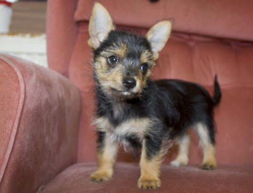 5 Great Things That Make the Chorkie Dog Unique