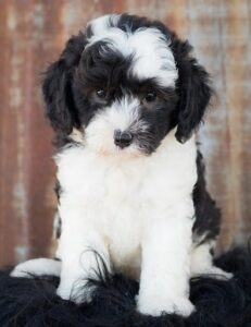 15 Great Facts About the Sheepadoodle - doggiefetch