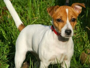 The JRT is one of the most active dog breeds.