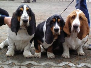 Who would've thought that the Basset Hound is one of the most active dog breeds?