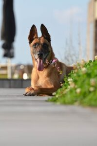 The Belgian Malinois is one of the most active dog breeds that is quite big in size.