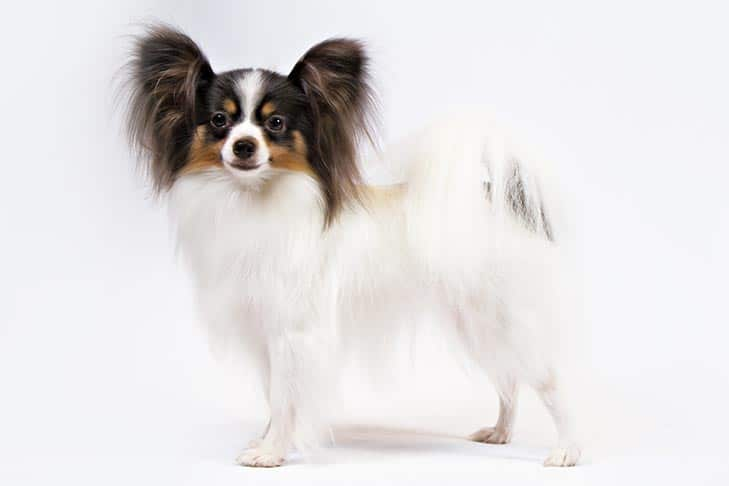 The Papillon is part of the best lap dogs list.