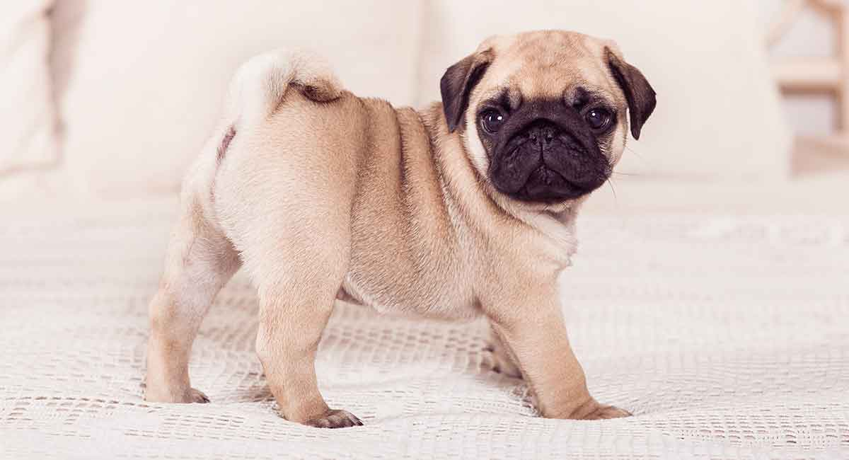 The Pug canine breed is one of the best lap dogs.