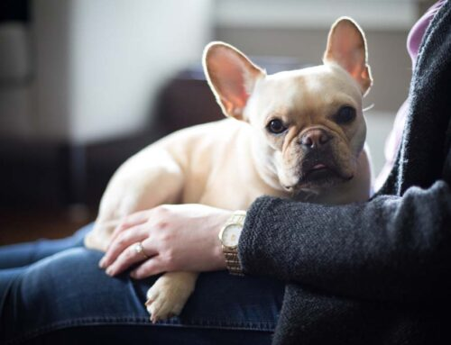 11 Best Lap Dogs