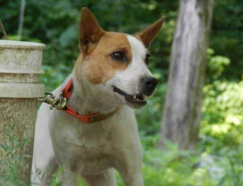 Interesting Feist Dog Breed Information
