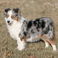 Toy Australian Shepherd Head Posing