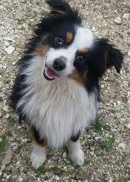 Toy Australian Shepherd Head Tilted