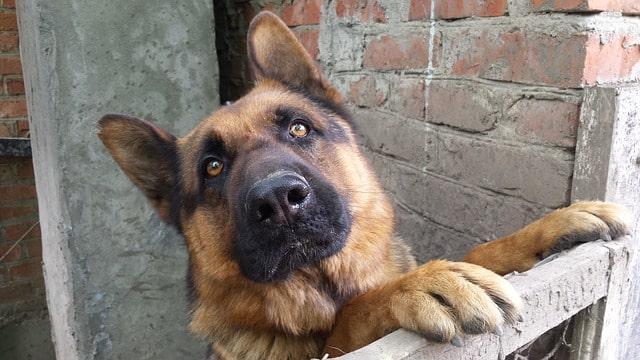 German Shepherd Protective Dog
