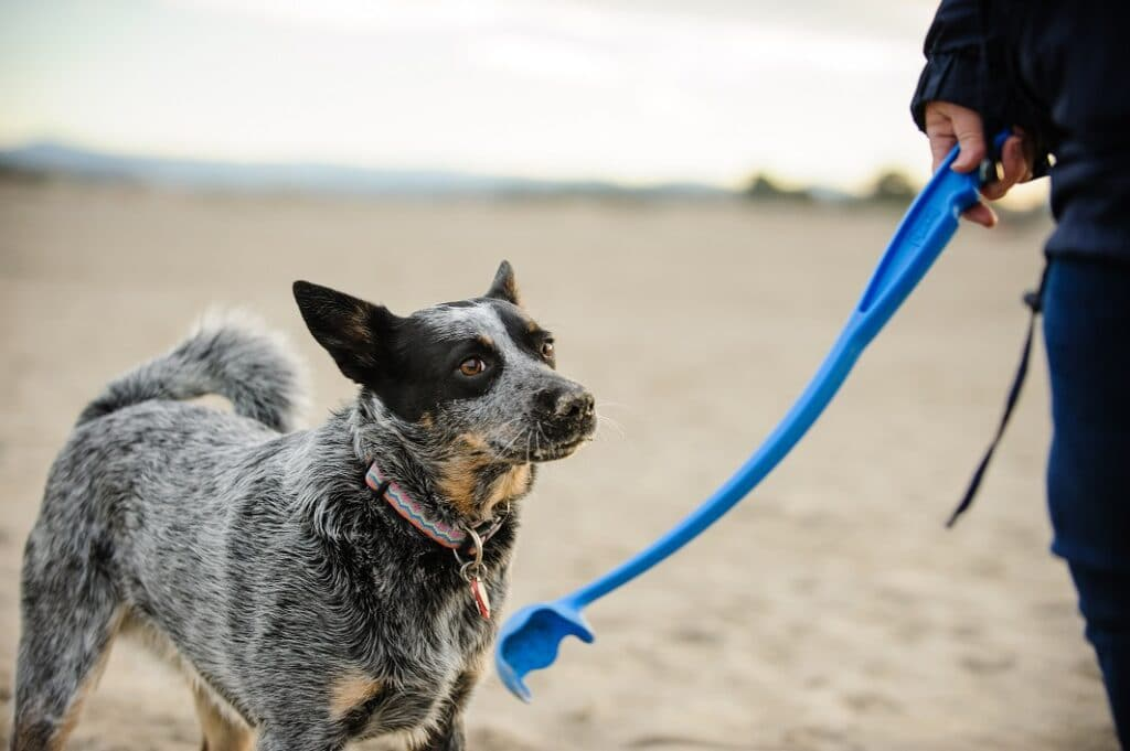 Australian Cattle Dog at beach waiting for owner to throw ball with a ball thrower