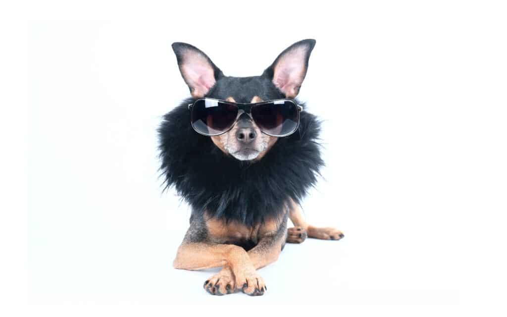High Class Dog