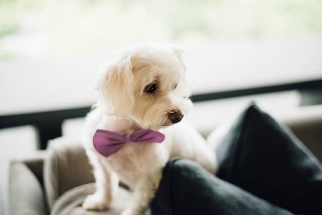 Puppy with Bow Tie Dog Collar
