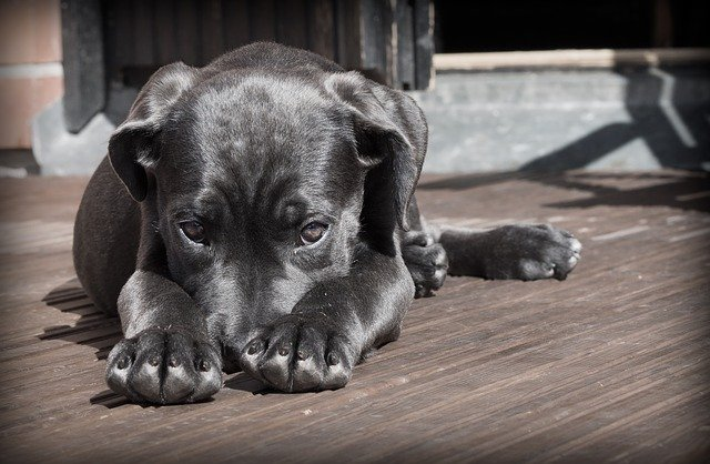 Sad Heartworm Puppy