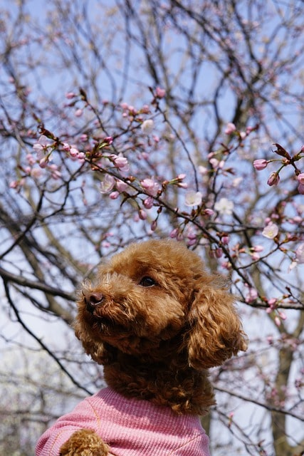 Toy Poodle Brown Cherry Tree