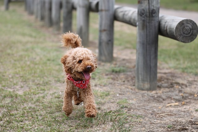 Toy Poodle Brown Fence