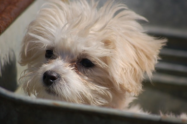 Toy Poodle White Hair