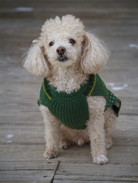 Toy Poodle White Jacket