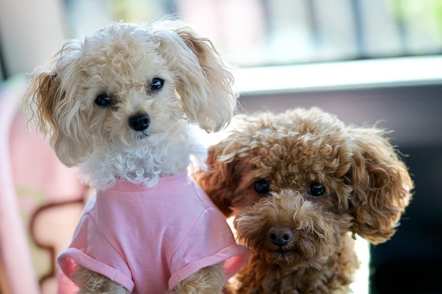 Toy Poodles Shirt
