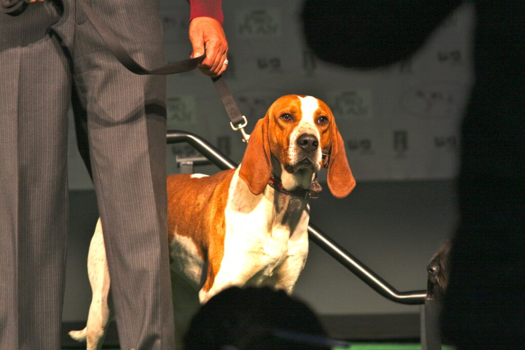 American English Coonhound Showing