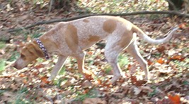 American English Coonhound Tracking